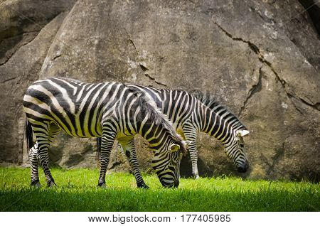 Two zebras eating grass in the wild