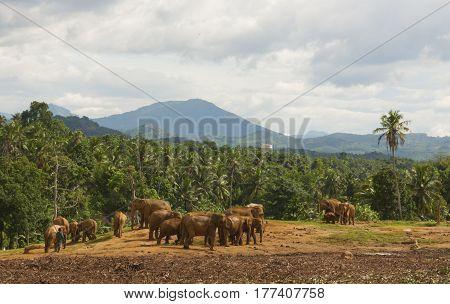 Pinnawala elephant orphanage Sri Lanka horizontal view