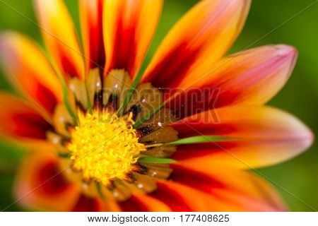 Gerbera orange flower close up on natural green background horizontal view