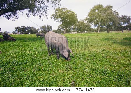 Iberian pig eating in a green meadow.