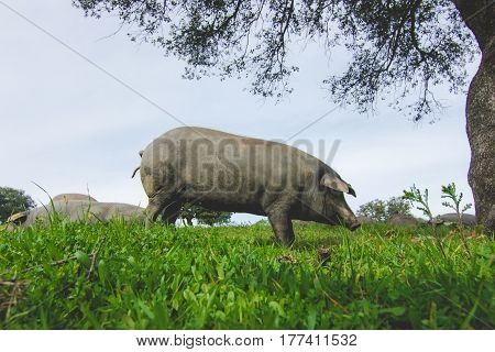 Iberian pig in a green meadow. Side face view.
