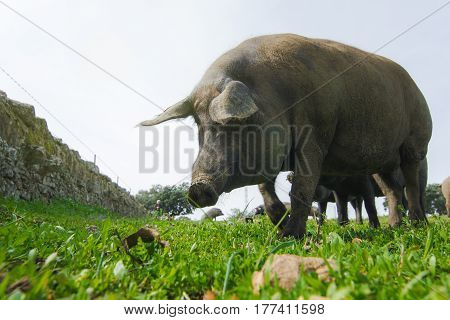 Iberian pig eating acorns in a green meadow.