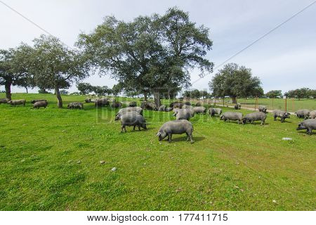 Iberian pig herd pasturing in a green countryside.