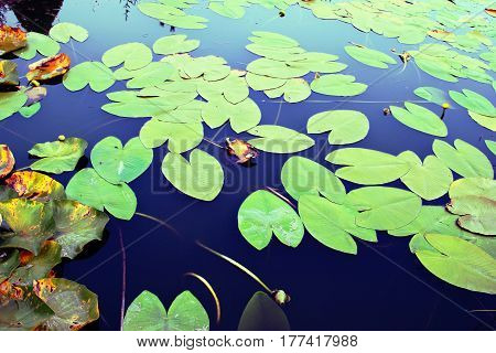 Water lily leaves in the pond. Nature background.