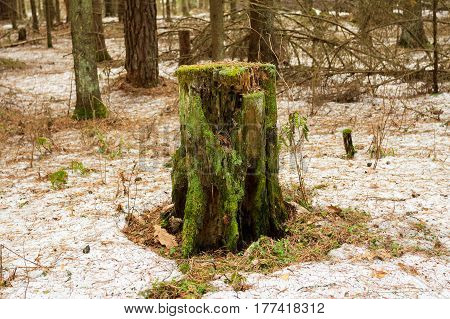 Old Wooden Tree Stump With Green Moss In Spring Forest.