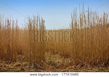 Fields are dry reeds matured with blue sky which is before harvest.