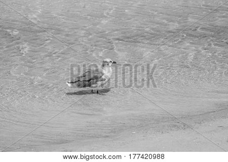 High-angle view of seagull wading in shallow water along the beach
