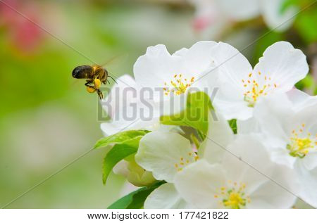 Bee collecting nectar from a flower in sunny spring day