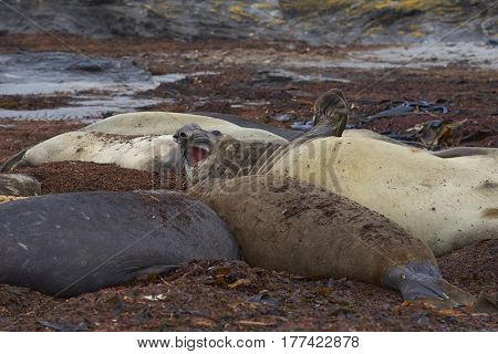 Group of Southern Elephant Seal (Mirounga leonina) on a beach on Sealion Island in the Falkland Islands.