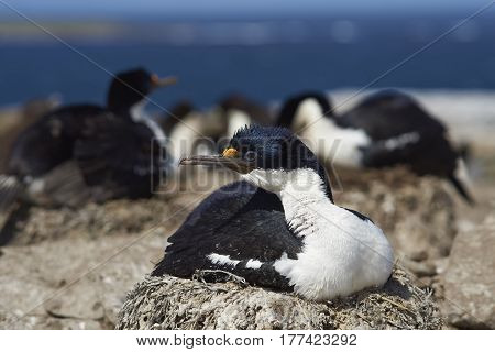 Imperial Shag (Phalacrocorax atriceps albiventer) sitting on a nest on Sealion Island in the Falkland Islands