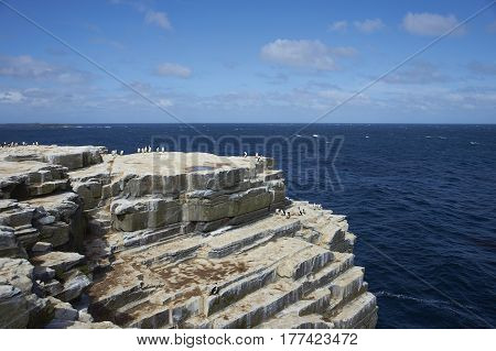 Colony of Imperial Shag (Phalacrocorax atriceps albiventer) on the cliffs of Sealion Island in the Falkland Islands