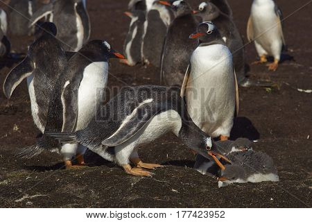 Gentoo Penguin (Pygoscelis papua) interacting with a chick on Sealion Island in the Falkland Islands