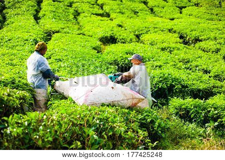 Pahang, Malaysia - October 23, 2014: Workers with sacks pick leaves on a tea plantation in Cameron Highlands. Green hills landscape