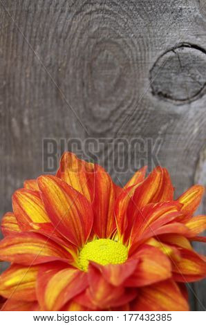 red yellow mum flower on wooden background