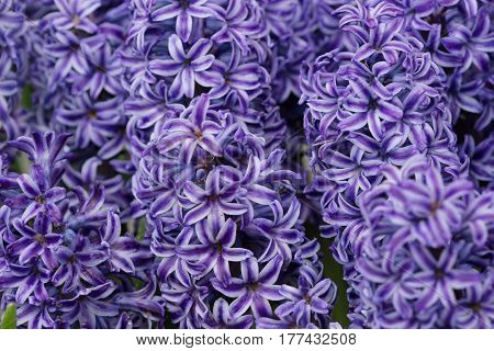 Beautiful Macro Texture Of Blue Or Purple Hyacinths