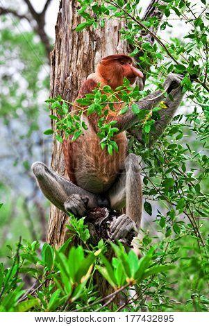proboscis monkey in bako national park,malaysia
