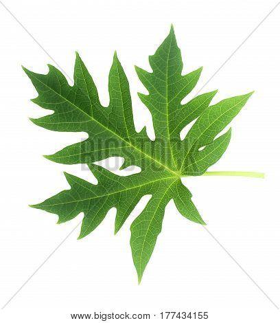 Papaya leaf isolated on white backgroung texture