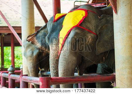 Asian Elephant In The Zoo