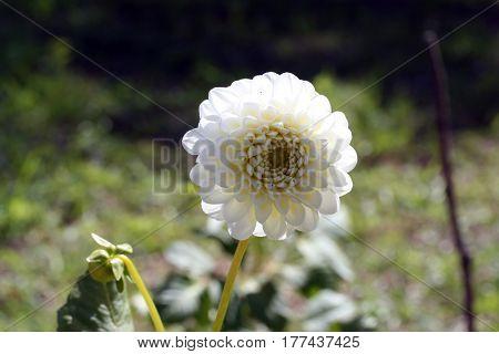 White Dahlia Honky Flower