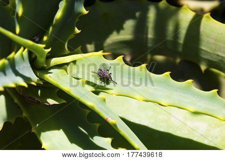 Fly on the leaf of aloe vera plant