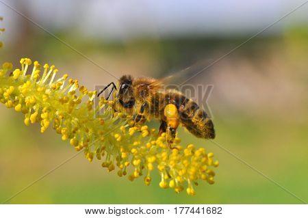 Honey bee collecting nectar on yellow flower, Honey Bee pollinating wild flower,