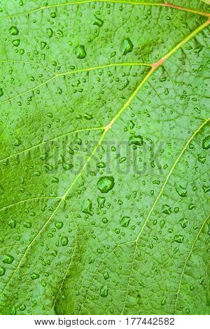 Water drops on fresh green grape leaves. Natural background with texture of the leaf closeup.