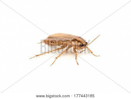 Small brown cockroach isolated on white background