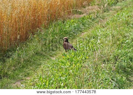 The Common Buzzard (buteo Buteo)