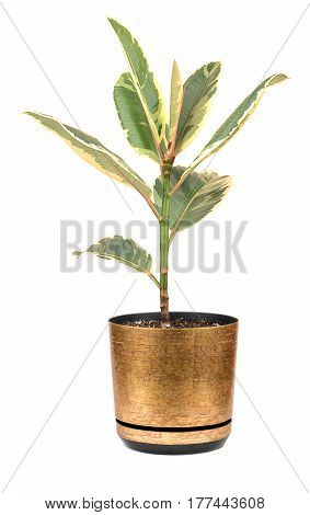 Room ficus in a flowerpot isolated on a white background