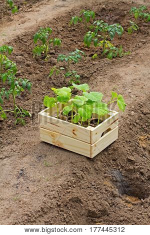 Wooden box with small cucumber's sprouts ready for planting on the ground stands next to the sprouts tomato in the garden