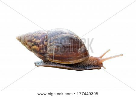 Garden snail isolated photo on white background