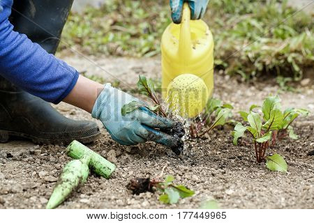 Gardener watering and fertilising freshly planted beetroot seedlings in garden bed for growth boost. Organic gardening healthy food nutrition and diet self-supply and housework concept.
