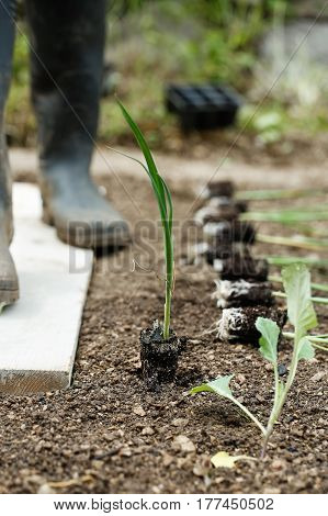 Leek seedlings lying on freshly ploughed garden bed prepared for planting with gardener in the background. Organic gardening healthy food agriculture nutrition and diet background and concept.