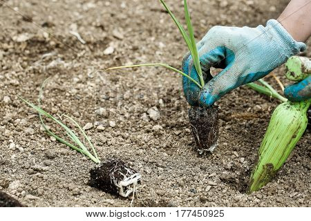 Gardener planting plowing the leek seedlings in freshly ploughed garden beds. Organic gardening healthy food nutrition and diet self-supply and housework concept.