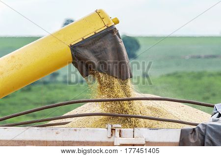 Pouring Soybeans On Truck