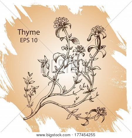 Vector Background Sketch Thyme. Herb Thyme.