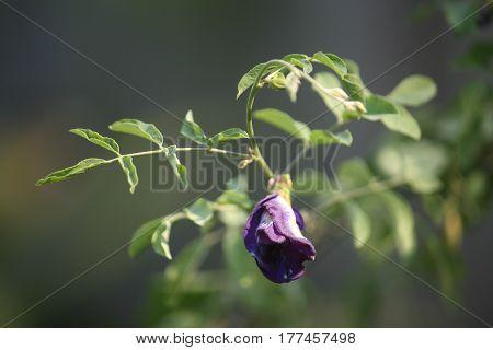 The purple pea flower in the garden.