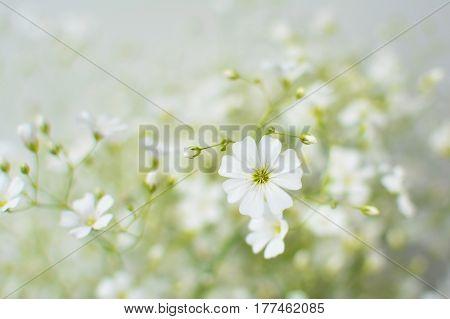 Baby's breath flowers dreamy floral background (Gypsophila)