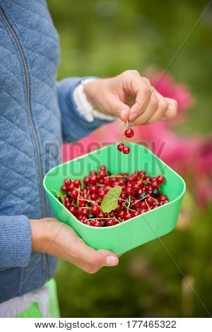 Closeup of woman's hands picking fresh organic red currant from the bunch in the garden. Healthy food and eating. Nature.