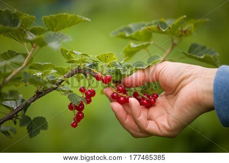 Closeup of woman's hand picking fresh organic red currant from the bunch in the garden. Healthy food and eating. Nature.