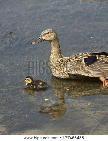 Wildlife duckling with their mother in natural environment