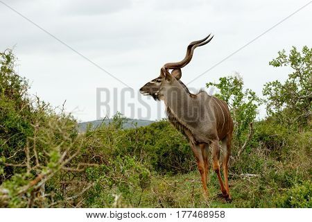 Male Kudu Looking And Ready To Run In A Direction