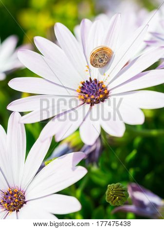 White African daisy (Osteospermum) with purple eye. Snail sits on one of the petals.
