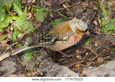 Male Common Chaffinch Fringilla coelebs close-up portrait on ground selective focus shallow DOF.