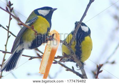 titmouses on the branches of tree eat the bread. Hungry birds in the winter