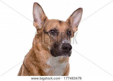 Portrait of pedigreed brown shepherd on white background