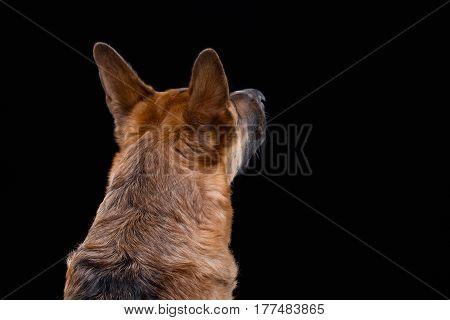 Shot of turned away german shepherd on black background