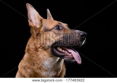 Shot of looking up german shepherd on black background