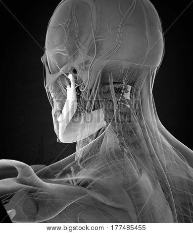 Jawbone. Mandible. Human anatomy skeleton. 3D illustration
