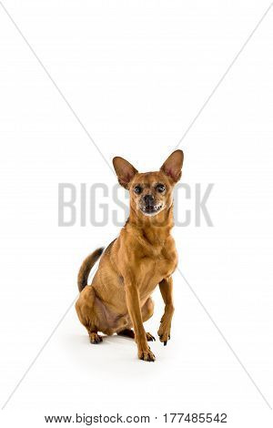 One rat terrier in studio posing for pet portraits